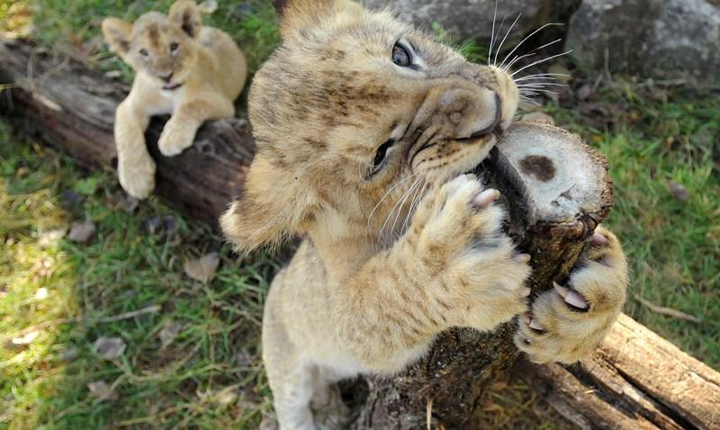 101508 Zoo Babies Lions
