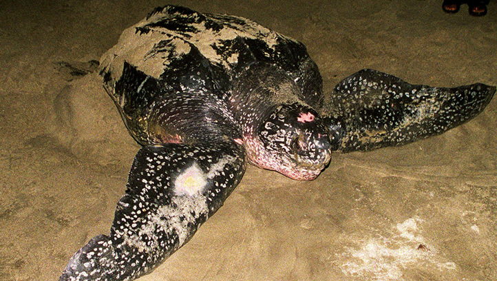 Trinidad and Tobago Indonesia Giant Turtle
