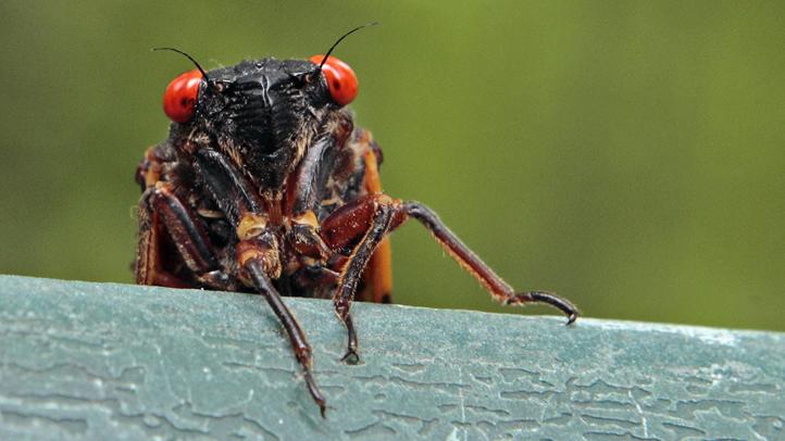 Cicadas Return