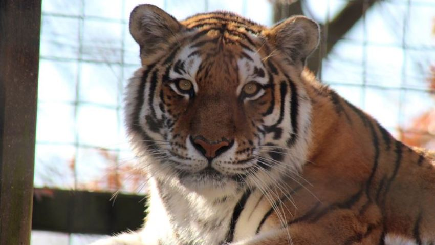 Brandwine Zoo Tiger
