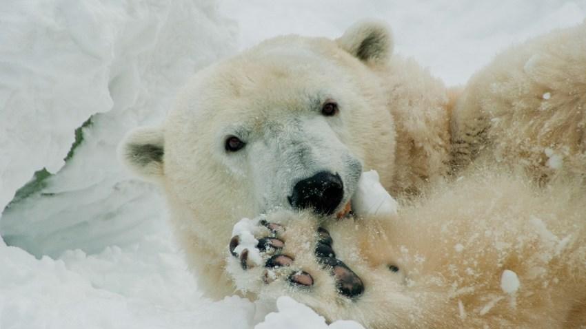 Coldilocks Polar Bear Philly Zoo