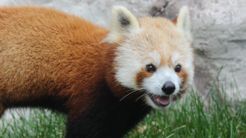 Elmwood Park Zoo Red Panda