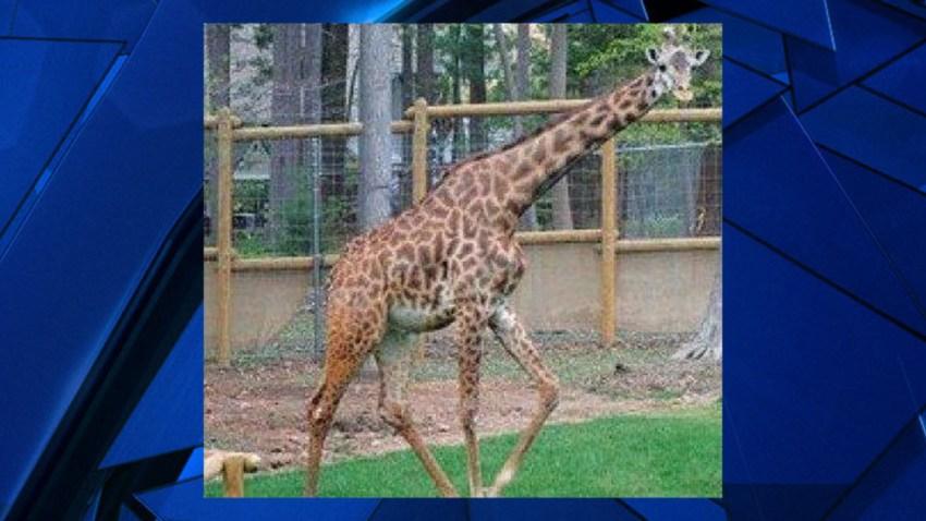 Hodari Giraffe Turtle Back Zoo