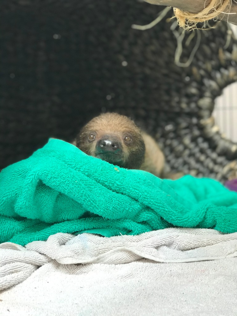 A sloth in a blanket