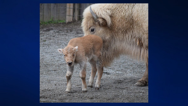 Living Treasures Wild Animal Park White Bison
