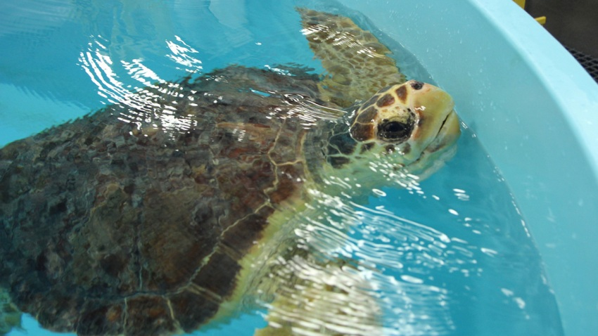 Loggerhead 1-Sea Turtle Recovery admits first Loggerhead sea turtles from Virginia 2