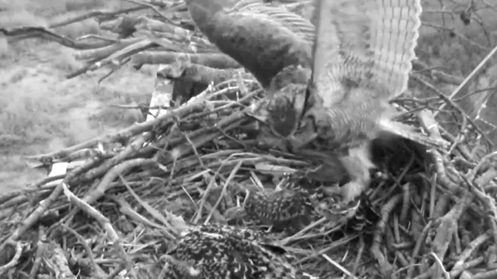 Owl_Attack_Osprey_chick_Maurice_River