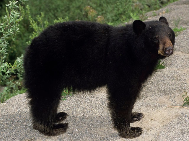 PHI black bear attacks man for sandwich