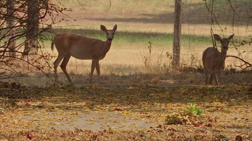 deer in Azle