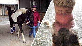 Pony on the left with bandages on its ankles and a close up of its injured ankle on the right