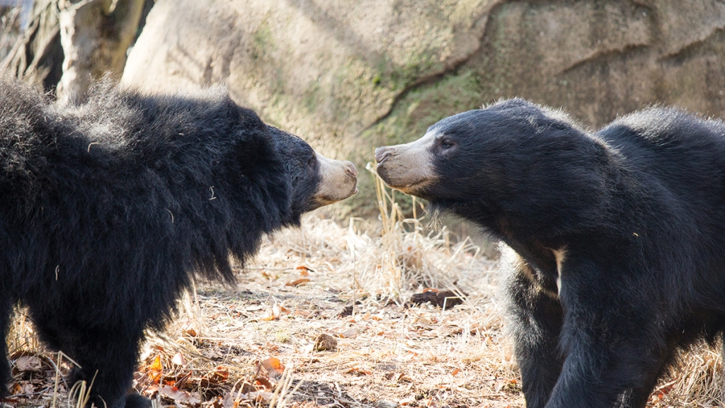 Two sloth bears close to touching noses in their exhibit at the Philadelphia Zoo.