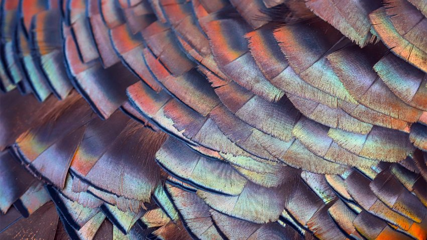 Colorful wild turkey feathers