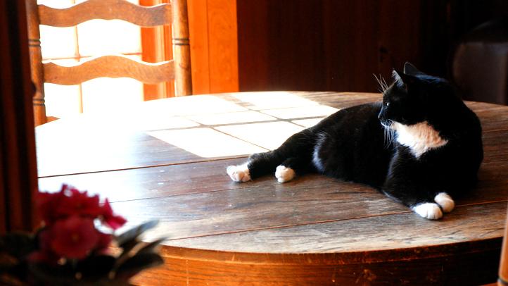 Tuxedo-Tabby-Cat