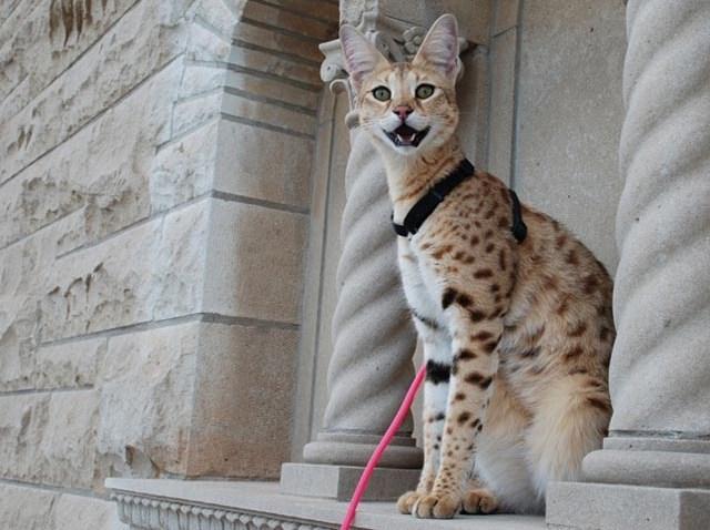 World's Tallest Pet Cat Scarlett's Magic blurb