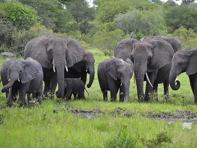 african-elephants_1