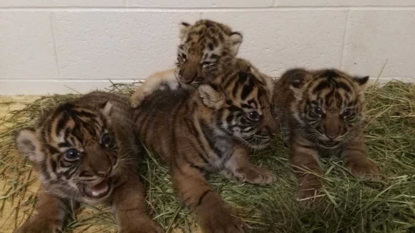 Tiger Cub Transfer Oklahoma