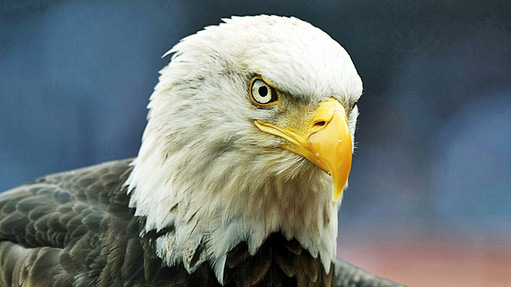 bald eagle recovery