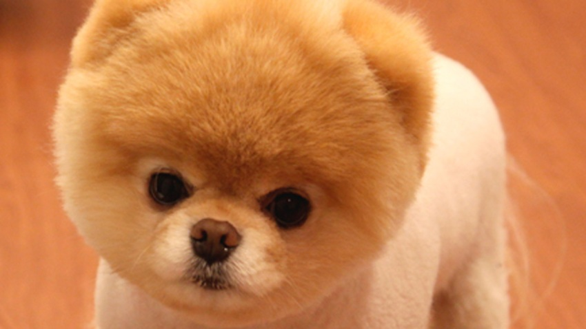 BOO -- The World's Cutest Dog(TM)