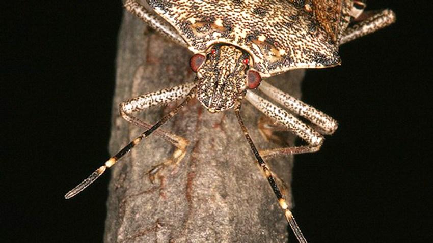 brown marmorated stink bug penn state entomology