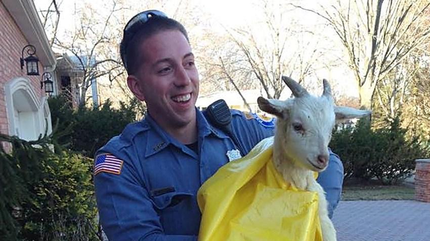 disorderly goat