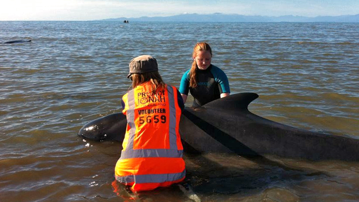 New Zealand Stranded Whales