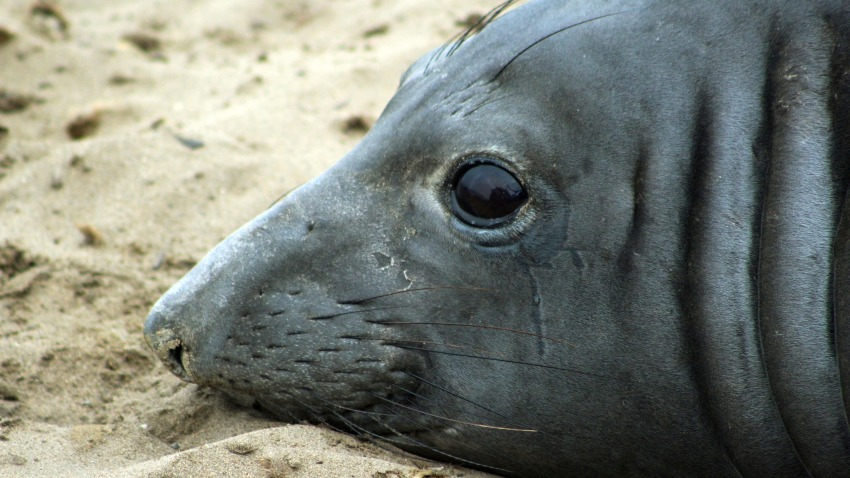 Elephant Seal-Swimming Record