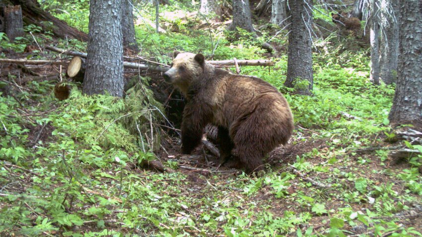 Grizzly Bears Endangered