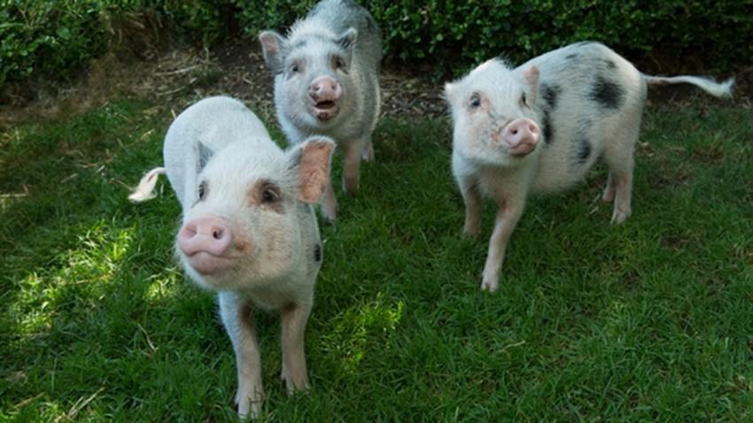 juliana pigs