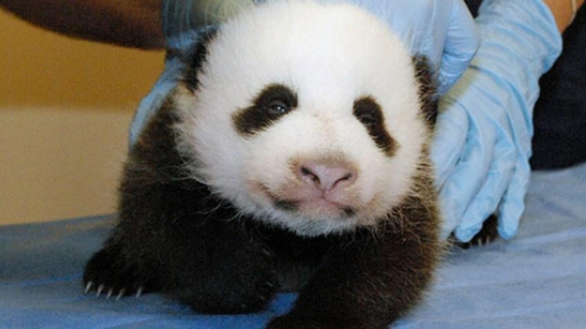pandacam