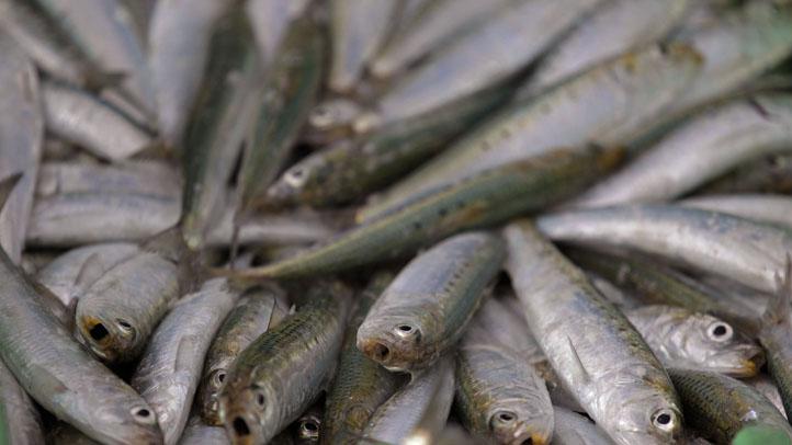 sardines1