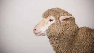 Thw side profile of a Merino Ewe