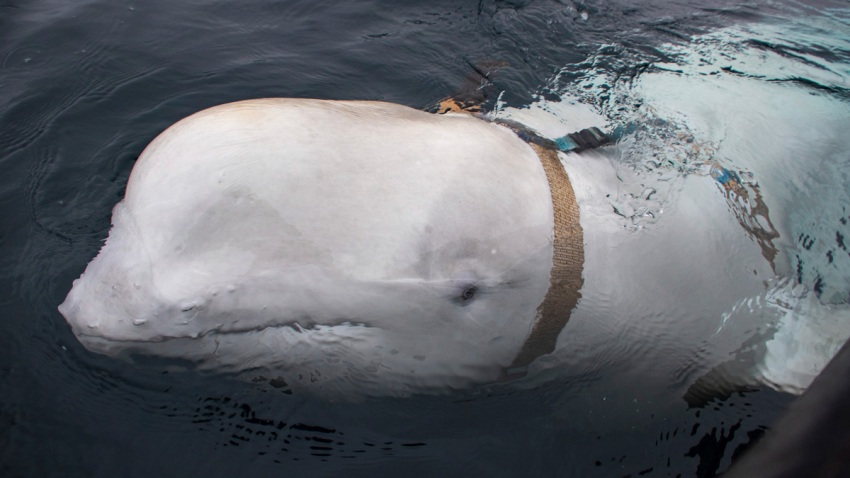 Norway Beluga Whale