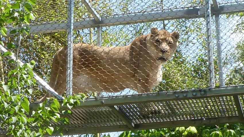 zenda lion Philly Zoo