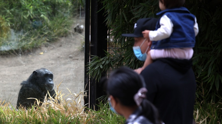 Visitors view a chimpanzee in its enclosure at the Oakland Zoo