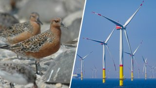 A red knot shorebird and off-shore wind turbines