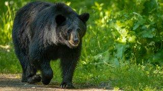 Black bear walking