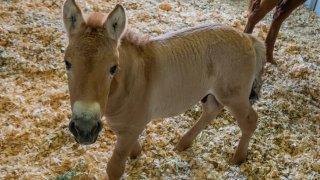 A cloned foal named Kurt