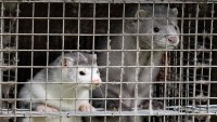 Culled Mink Resurface After Burial in Denmark