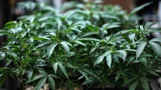 In this Aug. 15, 2019 file photo, marijuana grows at an indoor cannabis farm in Gardena, Calif.