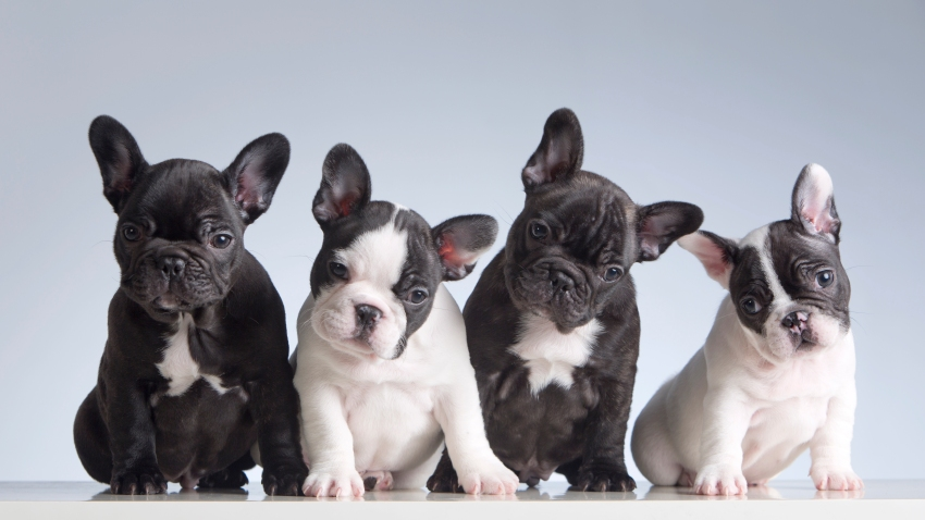 Four baby french bulldogs