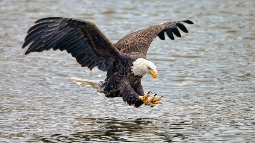 A bald eagle getting ready to fish in a river
