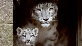 A mama snow leopard and her cub