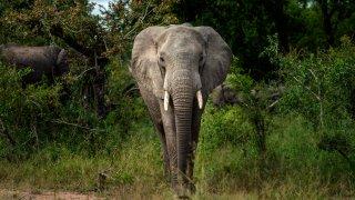 A Savanna elephant
