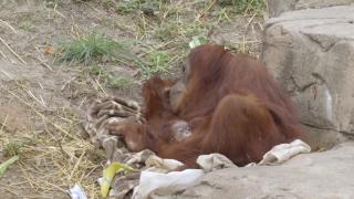 Endangered orangutan