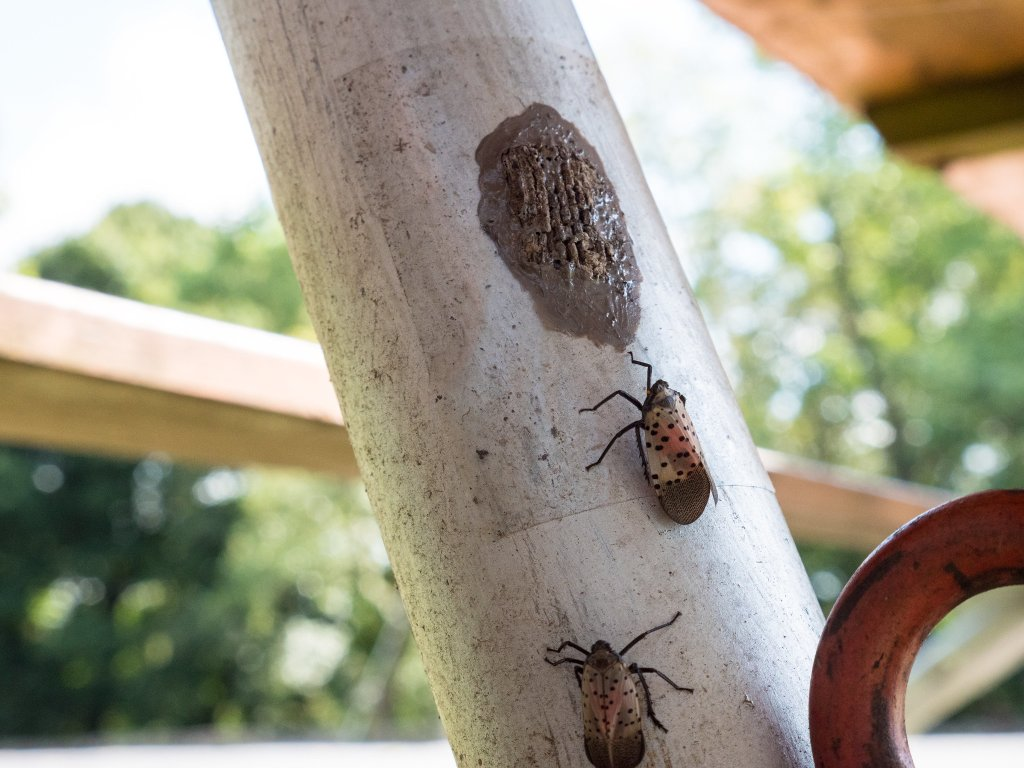 leg of metal table. 2 bugs - lanternflies - crawling on the pole toward the eggs