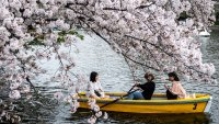 Japan's Cherry Blossoms See Earliest Bloom in 1,200 Years as Climate Warms