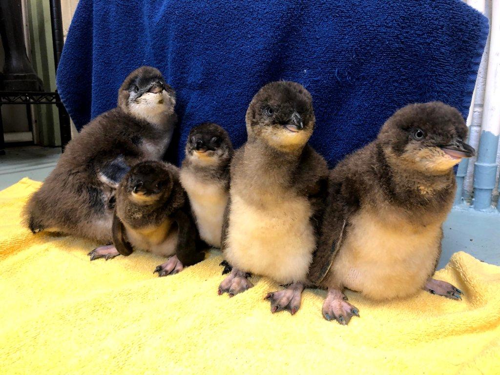 Five baby blue penguin chicks at Adventure Aquarium