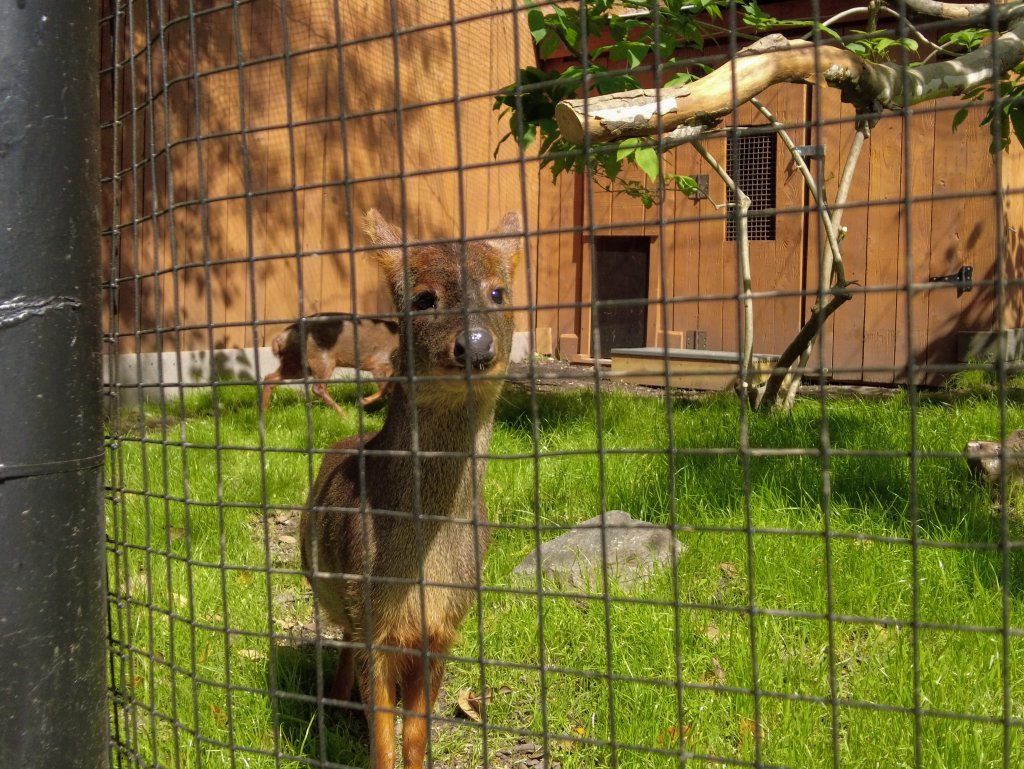 Southern Pudu in zoo exhibit