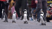 Waddling Into View Are the Stars of Netflix's 'Penguin Town'