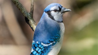 Picture of a Blue Jay